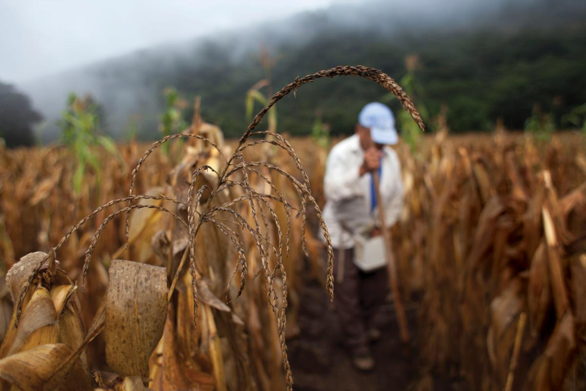 A farmer works in a corn field, in San Jose del Golfo township, Guatemala department, Guatemala, on Aug. 29, 2014