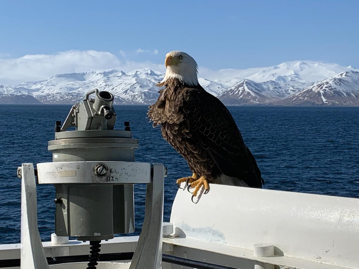 A bald eagle catches its breath on the bridge wing of the USCGC Alex Haley (WMEC-39) during operations off the Aleutian Islands on 19 March 2020. The Alex Haley routinely conducts law enforcement operations and provides search-and-rescue coverage throughout the Bering Sea.